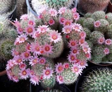 Цветущий кактус гниет изнутри.